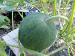 Выращивание арбузов в башкирии 57