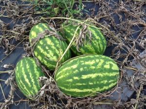Выращивание арбузов в башкирии 59