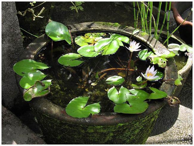 Как сажать водяную лилию дома 14